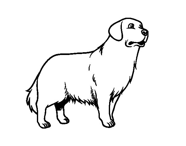 Dibuix de Gos Golden retriever per Pintar on-line