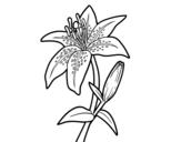 Dibuix de Lliri blanc per pintar